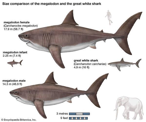 Studies-body-mass-megalodons-females-males-sharks